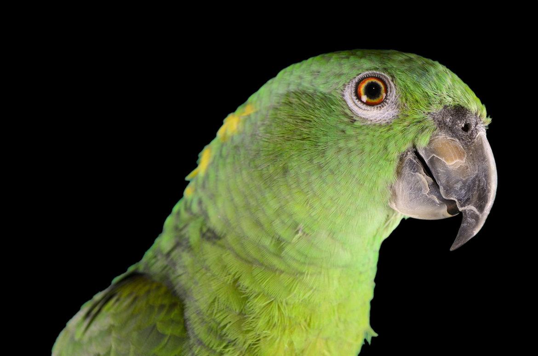 Buy-parrot